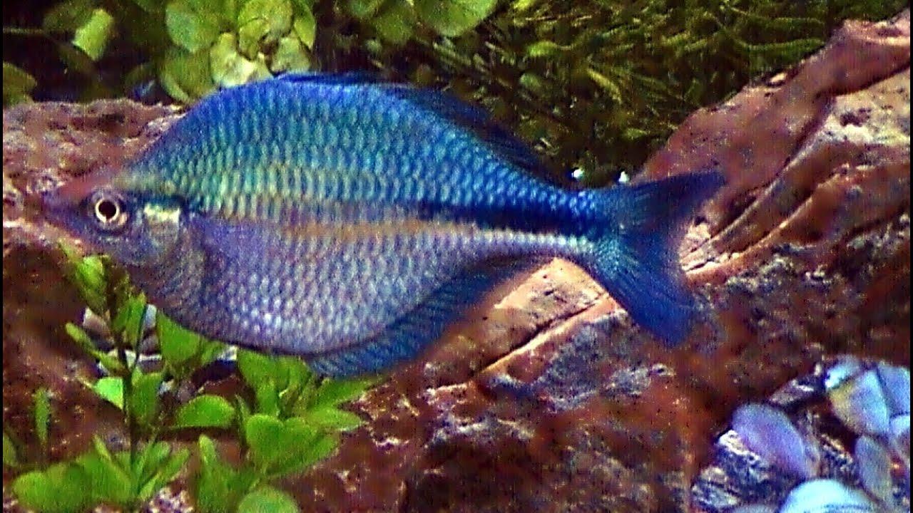 freshwater rainbow fish more information modni auto