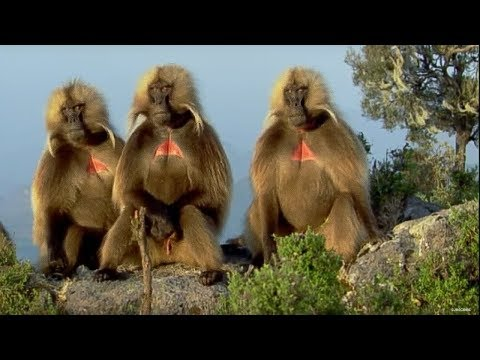Defending a monkey harem - Clever Monkeys - BBC Earth,