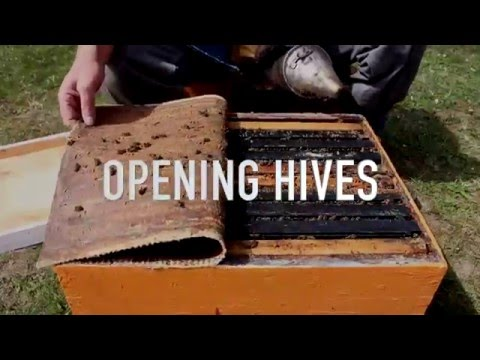 Opening Hives