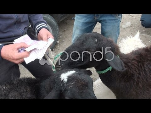 Counting money, selling sheep, Central Asia, Kyrgyzstan. Stock Footage