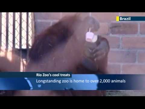 Rio Zoo gives animals frozen meat and fruit