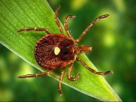 A Tick That can Turn You Into a Vegetarian?