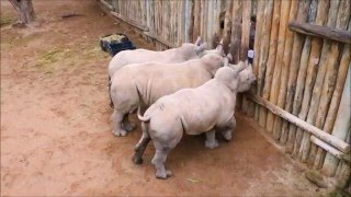Baby Rhinos Cry When Their Milk Runs Out!