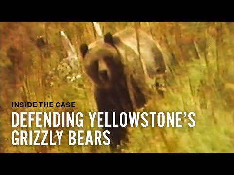 Defending Yellowstone's Grizzly Bears