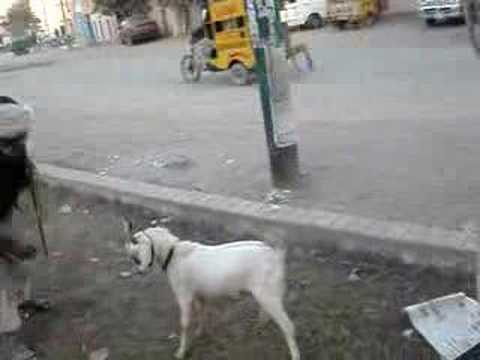 Monkey and Goat show Rabwah Pakistan  ahmadiyya