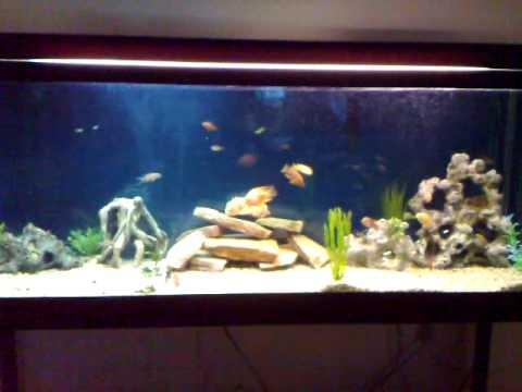 100 Gallon fish tank - Cichlid and Community mixed aquarium - YouTube