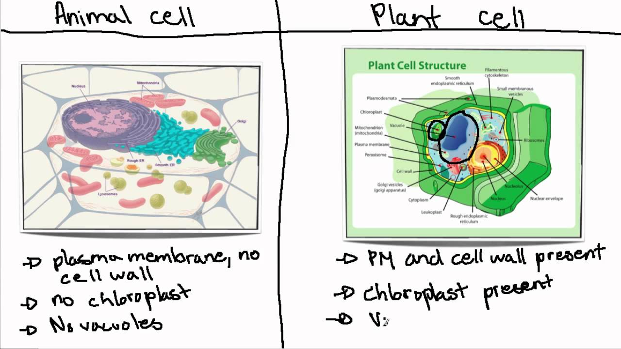 plant and animal cell essay  function of plant cells essays