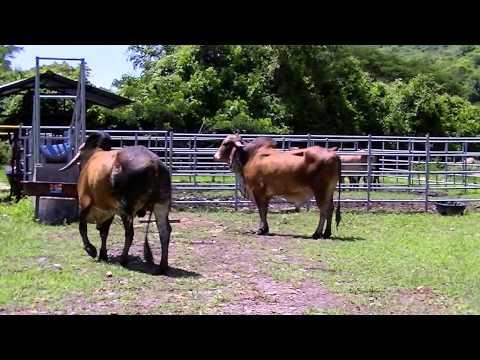 LOTE #8 REMATE DE GANADO PURO 15 DE NOV DE 2012 - TOROS PUROS PARA LA REPRODUCCIÓN