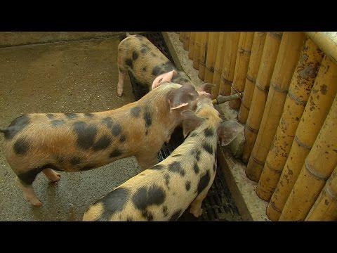 Características y alimentación  del porcino Sampedreño - TvAgro por Juan Gonzalo Angel