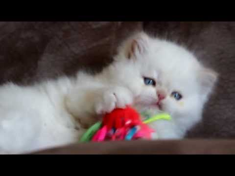 Adorable Kitten plays crazily (HD)