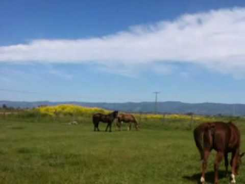 Stallion Mustang stealing mares in herd 3 of 6 - Rick Gore Horsemanship