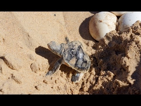 Tracking turtles in Western Australia