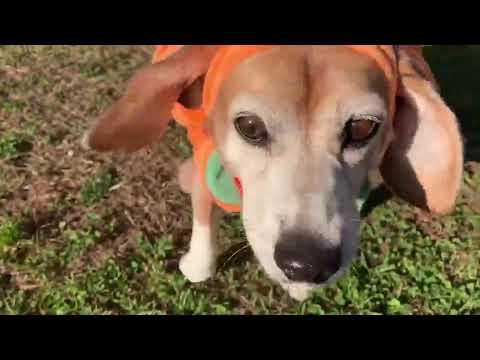 Adorable Beagle Dressed as Pumpkin Runs in Field - 1075283