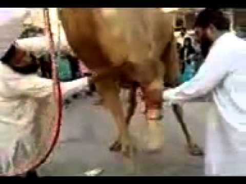 Slaughtering a camel