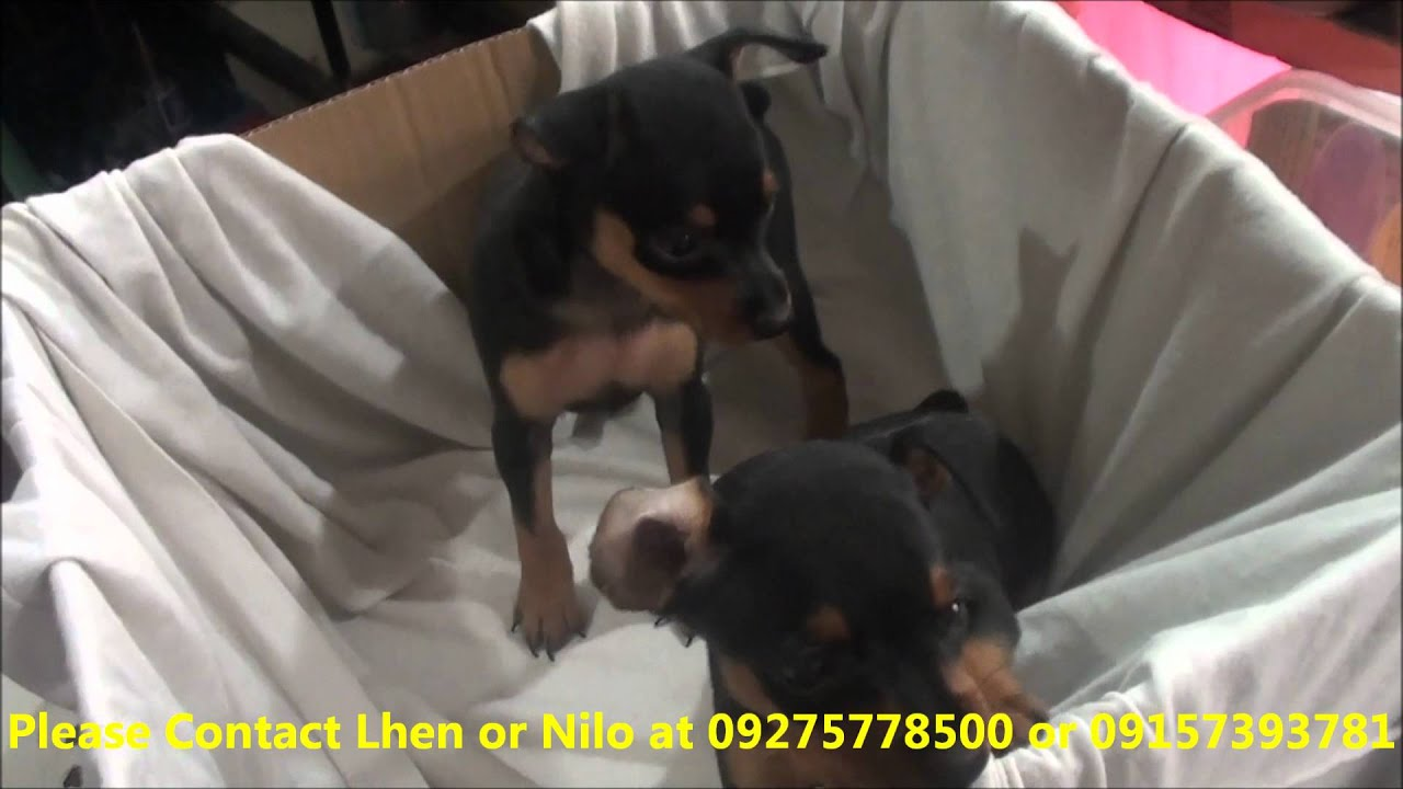mini pinscher pcci papers for sale  · pcci papers november 27, 2017 papers and the guarantee of a puppy/dog is 100%or if not before mo mabili yung aso check mo ang registration no nung papers ng.