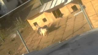 Weird Dog Mating!!!! 3 Dogs Stuck Together Lol