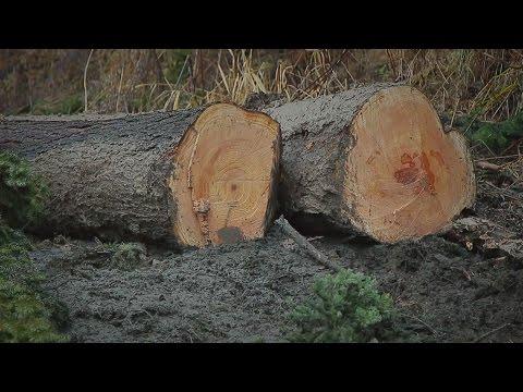 В Кузбассе незаконно вырубили деревья на 100 тысяч рублей