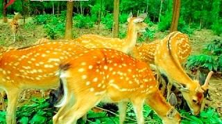Giới thiệu về hươu sao Hương Sơn