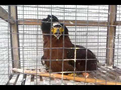 video burung langka ( rare bird )