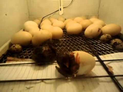 Chocadeira de ovo de galinha preço