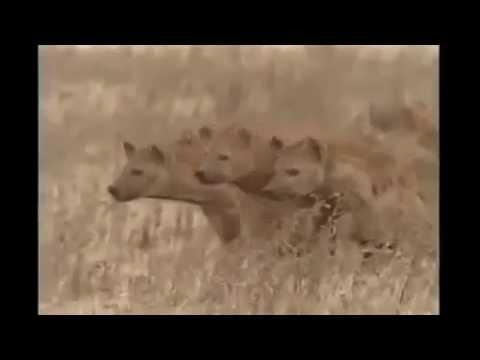 Cuộc chiến khủng khiếp giữa sư tử và linh cẩu