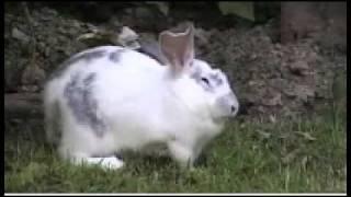 Caza De Conejos Con Rifle De Aire