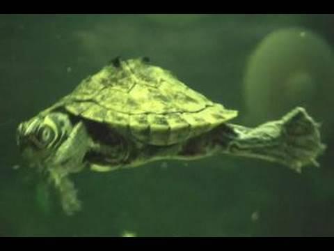 Turtles and Oscar - Freshwater aquarium - YouTube