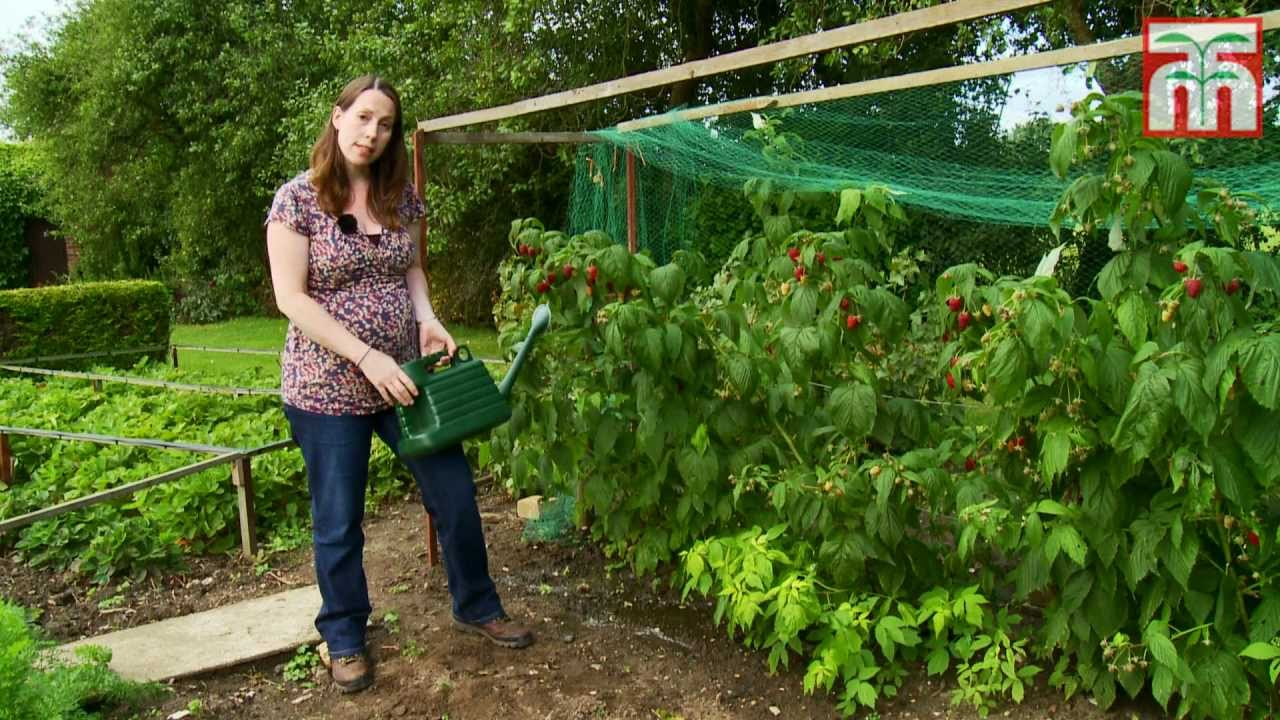 How To Grow Raspberries With Thompson And Morgan Part 1