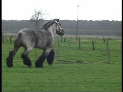 Buffalo van 't Zwaluwnest - Belgian Draft Horse