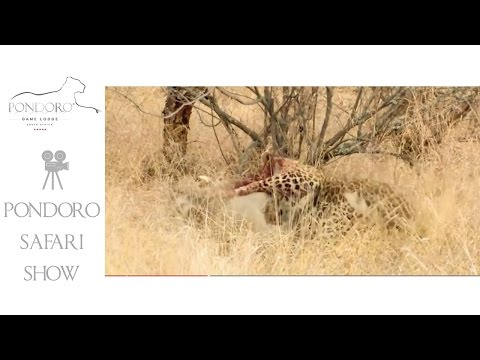 Leopard killing a warthog at Pondoro Game Lodge