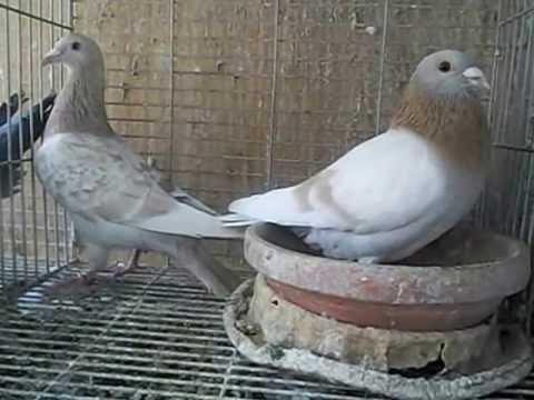 colored Race Pigeons حمام زاجل ملون