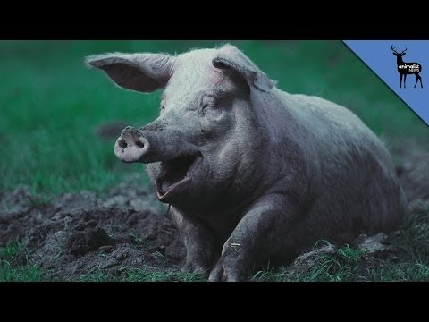 Why Pigs Need Mud