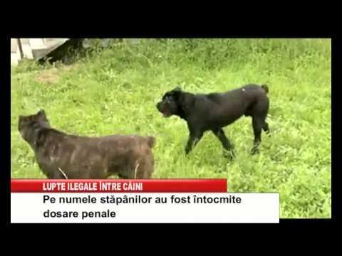 lupte ilegale intre caini