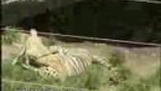 Kurdish Kangal Vs.American Tiger Dog Fight (new)