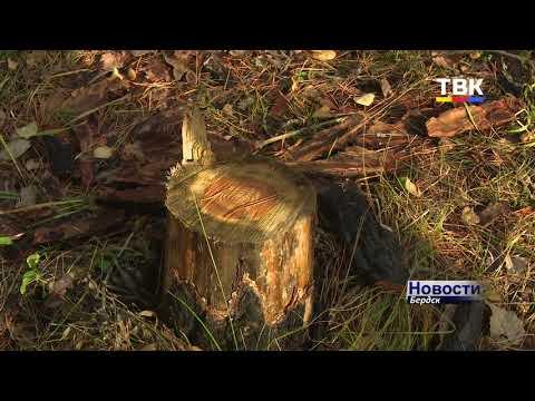 Не жалко природу – береги свободу: незаконная рубка леса в Бердске в районе Боровой