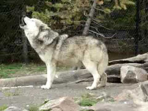 Wolf Howling, wolves!!!!!!!!!!