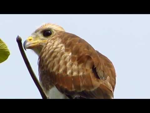 Rufous-winged Buzzard - Birdwatching Thailand