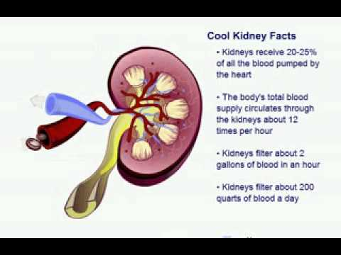 Kidney facts youtube
