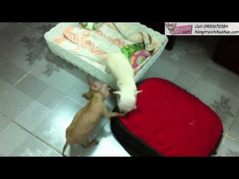 Chihuahua - NongtraiChihuahua - Xi Trum vs Kim Tae Hee