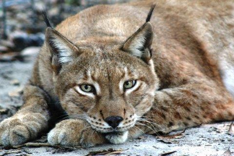 Caracal Cat Meow