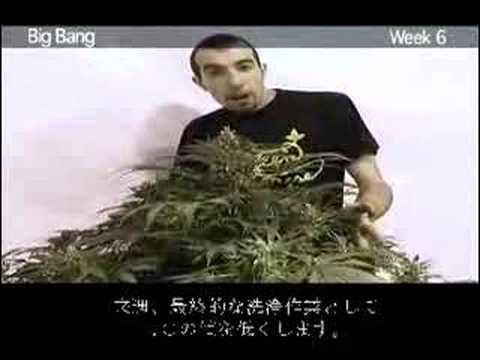 Green House Seed Co Big Bang Grow with Japanese Subtitles