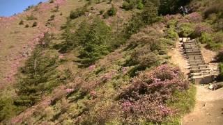 1050531合歡北峰紅毛杜鵑花況