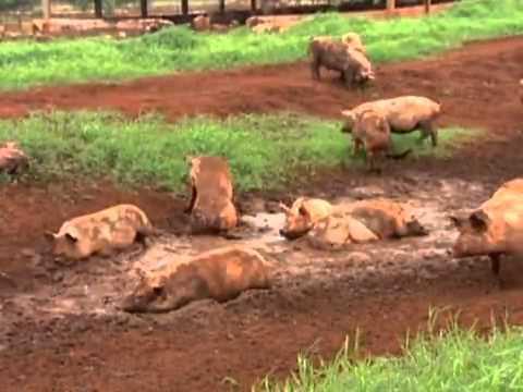Prática de bem-estar animal privilegia sistema diferente de manejo de porcos - Globo Rural