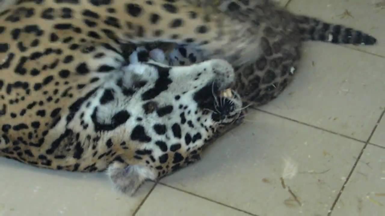 B b jaguar au zoo d 39 amn ville youtube - Bebe du jaguar ...