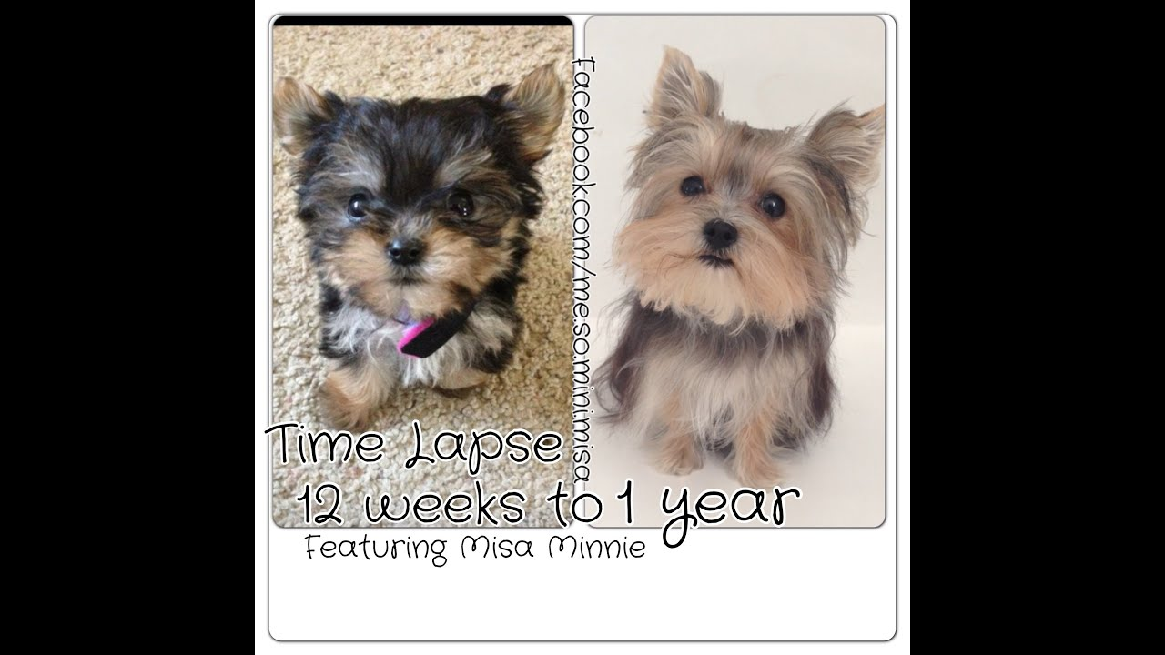 morkie coloring pages - time lapse puppy 12 weeks to 1 year cute yorkie misa