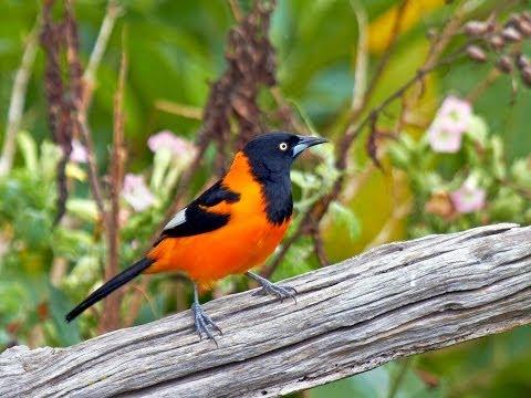 Canto Do Corrupião - Pássaros Do Brasil