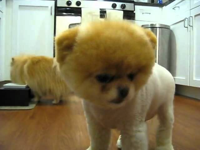 全球最萌的狗狗 Boo