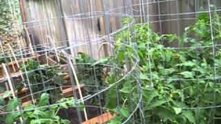 High Yield Tomato Plants: 50-80 Lbs Per Plant