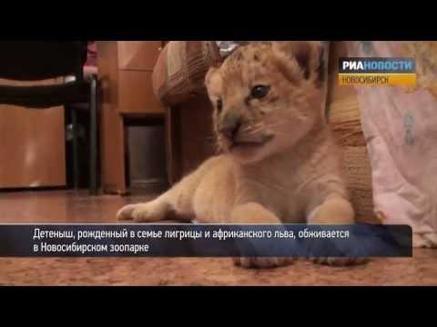 Лигренок Киара в зоопарке