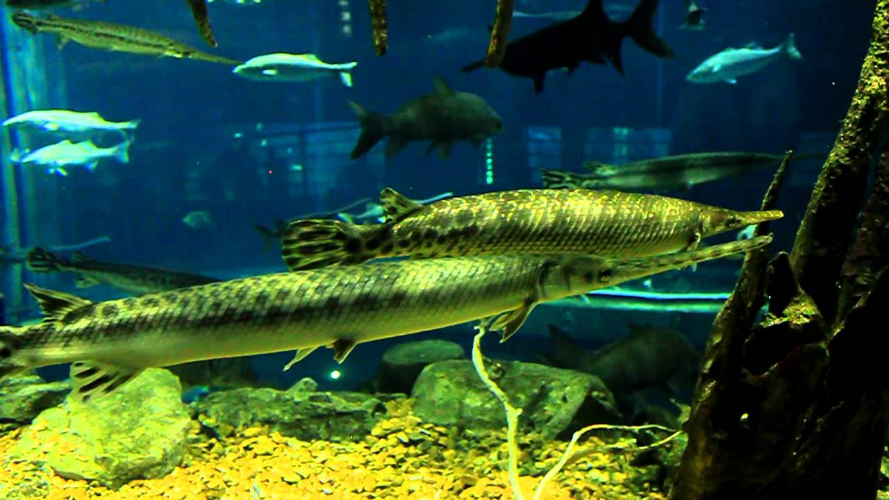 Needle Nose Gar At The Tennessee Aquarium In Chattanooga